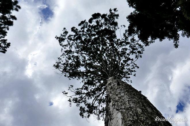 Ein Mammutbaum