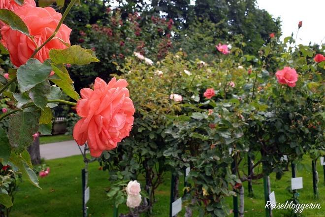 Die Rosen im Volksgarten