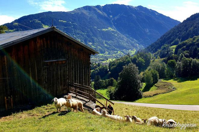 Schafe im Montafon