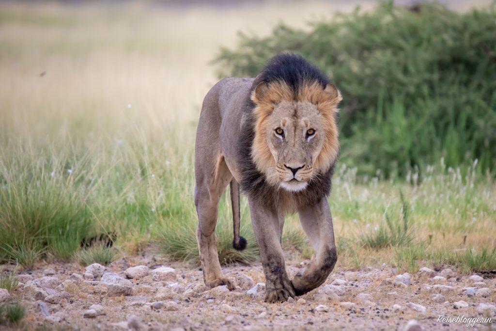 Löwe in der Kalahari - Mein Jahr in Bildern
