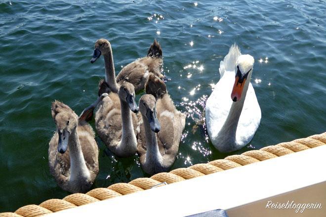 Jungschwäne an der Alten Donau
