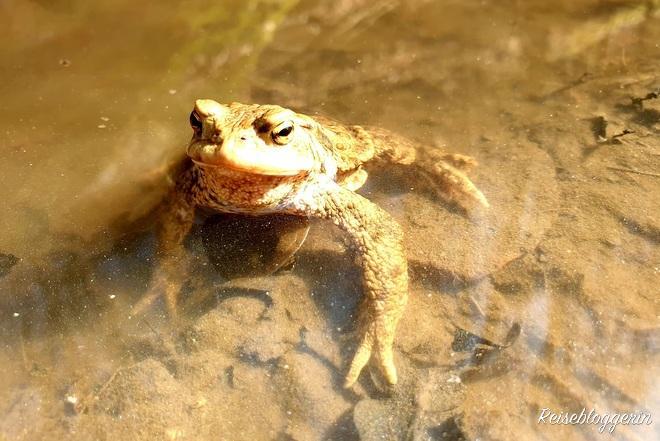 Erdkröte im Wasser