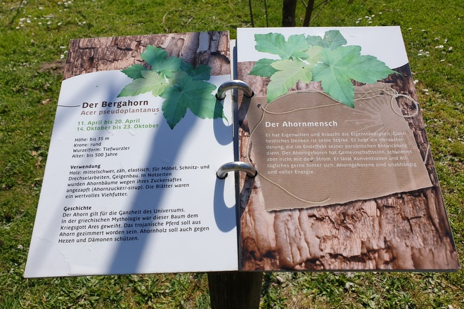 Erklärungen der Bergahorn beim Keltischen Baumkreis