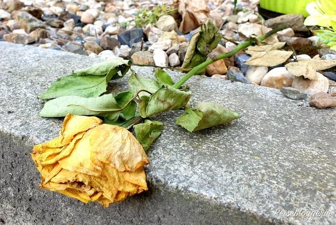 Eine gelbe verwelkte Rose an Kafkas Grab