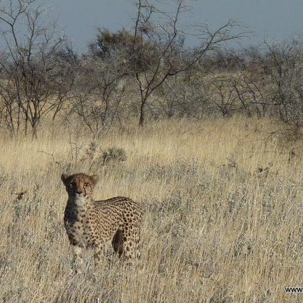 Leopard auf der Jagd